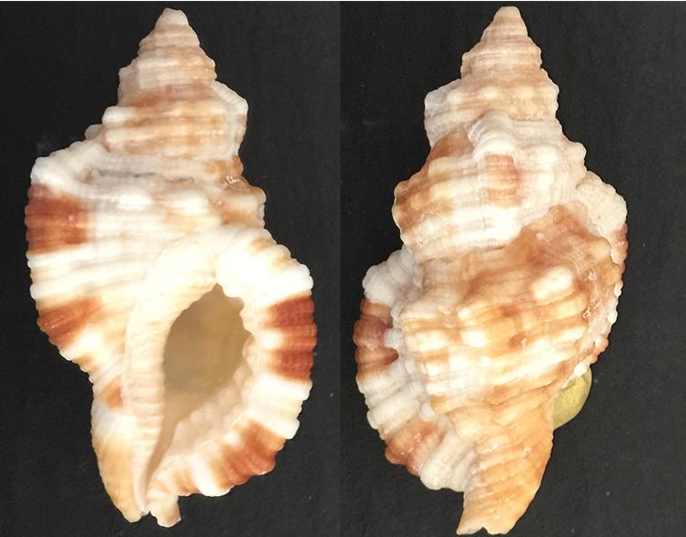 Monoplex aquatilis (Cymatiidae) 0111