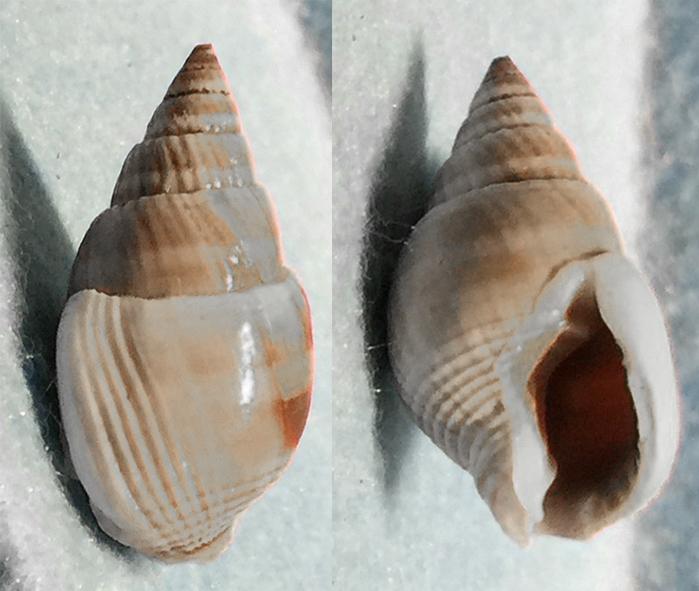 Nassarius canaliculatus voir Nassarius siquijorensis - (A. Adams, 1852)  0210