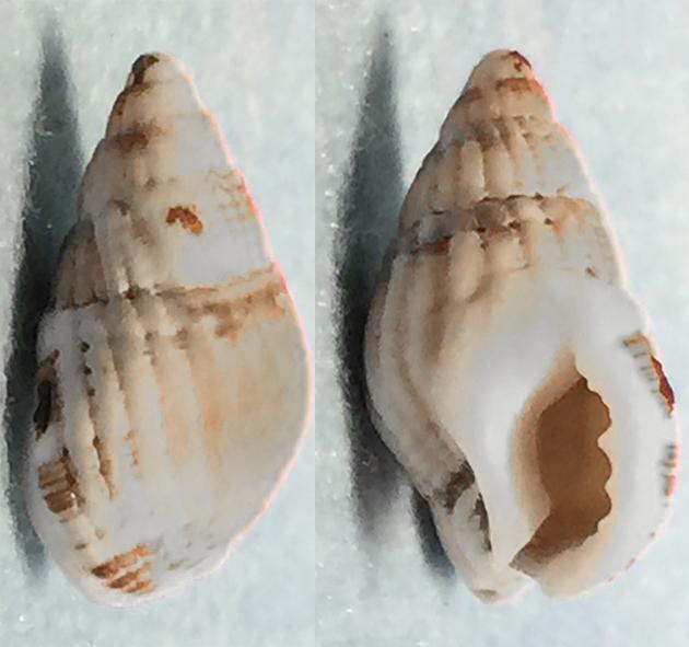 Tritia reticulata (Linnaeus, 1758) / Nassariidae - Nassariinae 0410