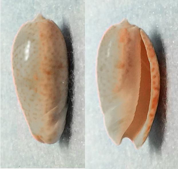 Carmione bulbosa (Röding, 1798) (Olividae) 0510