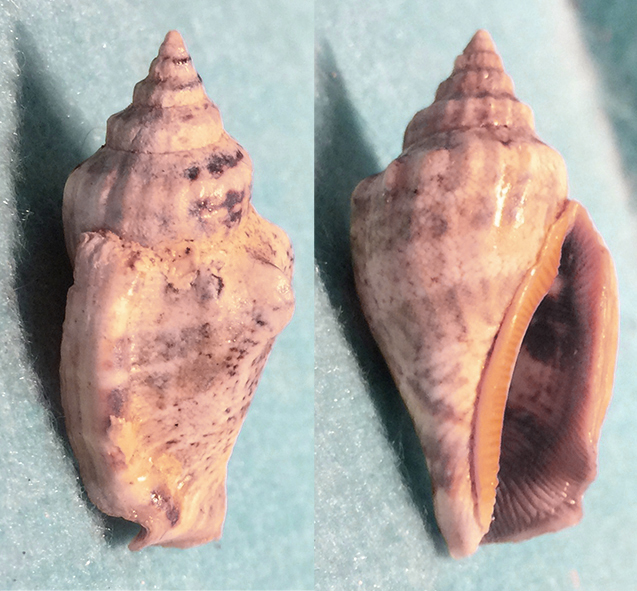 Canarium labiatum Roding, 1798 1110