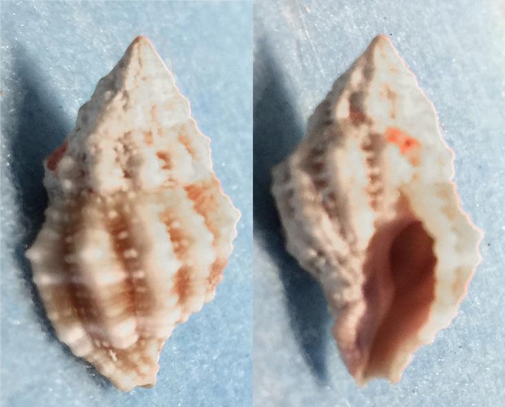 Peristernia nassatula (Lamarck, 1822)  1310