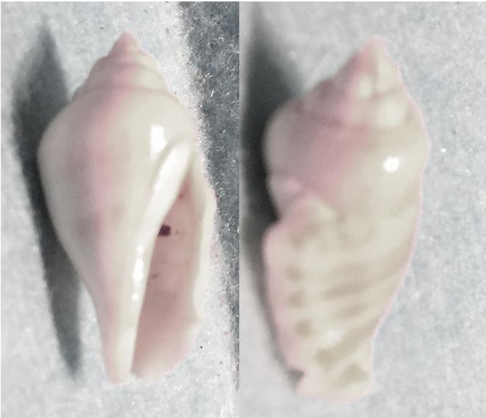 Gibberulus gibberulus (Linnaeus, 1758) 1710