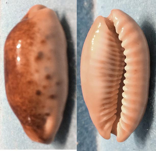 Erronea caurica - (Linnaeus, 1758) 1910