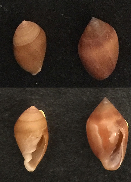 Cassidula vespertilionis 2_marr10