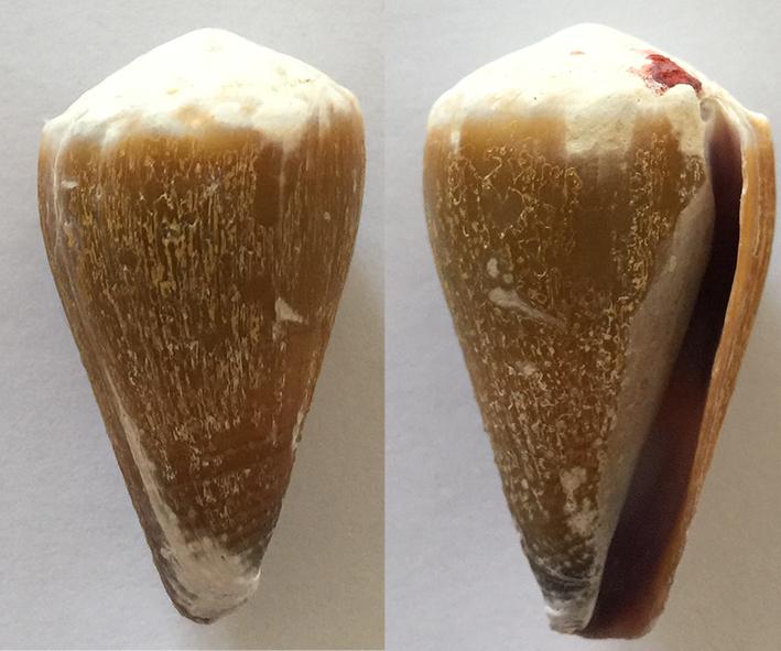Conus lividus 310
