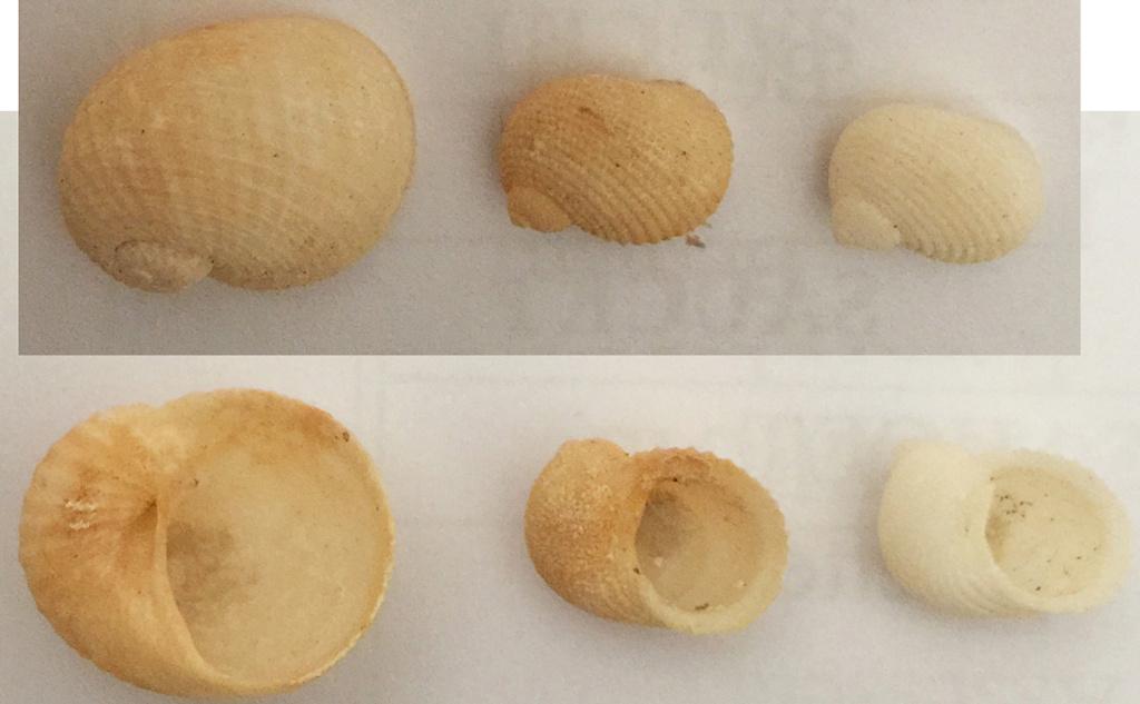 Vanikoro cancellata + Neritopsis radula 3_ni10