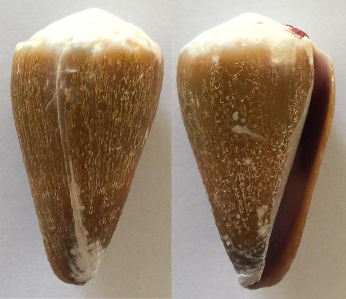 Conus lividus 410