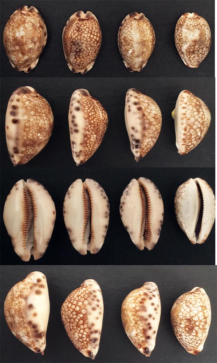Mauritia_histrio_(Gmelin_1791) 411