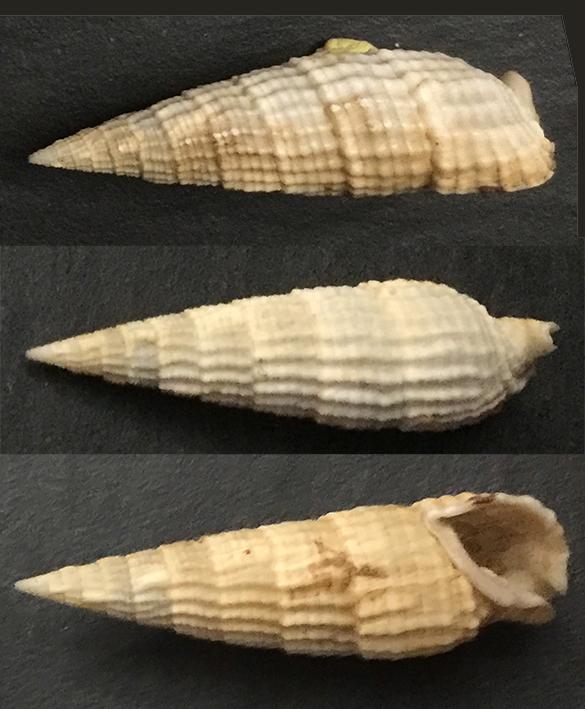 Rhinoclavis aspera 512_mm10