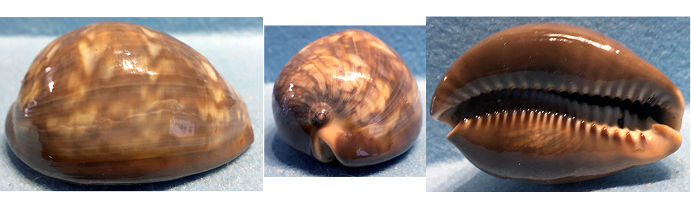 Mauritia mauritiana - (Linnaeus, 1758)  juvénile à sub-adulte Cyprae10