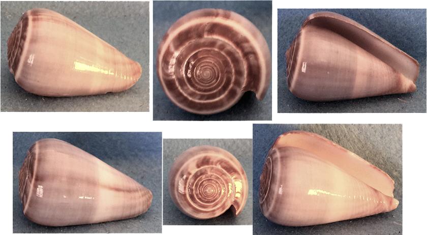 Conus loroisii - Kiener, 1846 Cznes_10