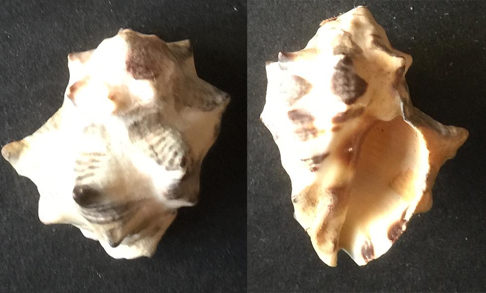 Menathais tuberosa Inconn16