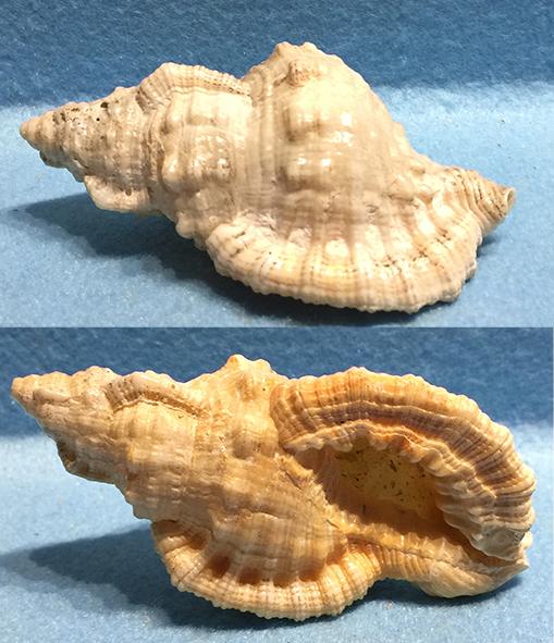 Monoplex nicobaricus (Röding, 1798)  Murici11