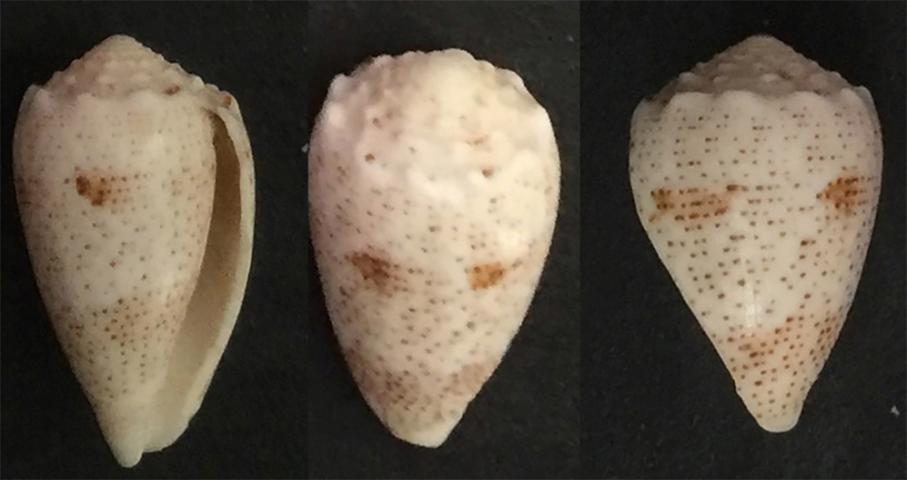 Conus_puncticulis_arenatus Sans_t46
