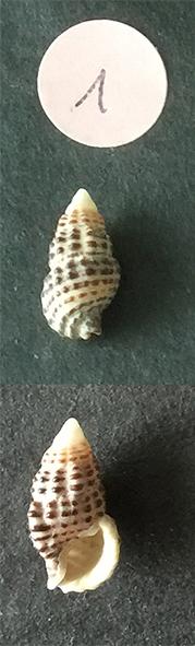 Clypeomorus bifasciata Sans_t62