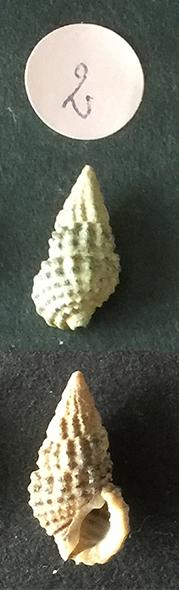 Clypeomorus bifasciata Sans_t63