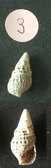 Cerithiidae n° 3 Sans_t64