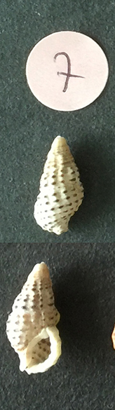 Clypeomorus bifasciata Sans_t70