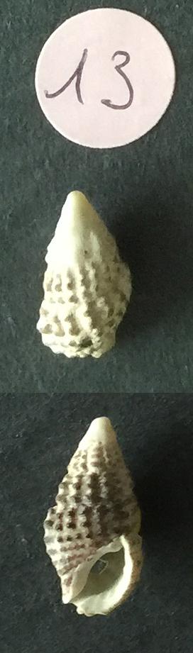 Clypeomorus bifasciata Sans_t75
