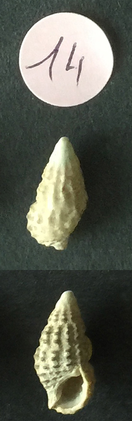 Clypeomorus bifasciata Sans_t76