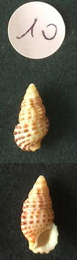 Clypeomorus bifasciata Sans_t81