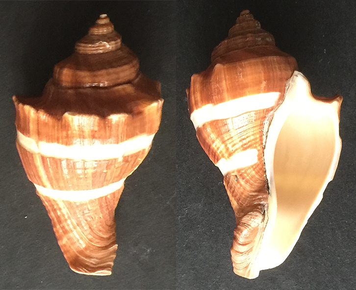 """Volegalea cochlidium """"retravaillée"""". Sans_t88"""