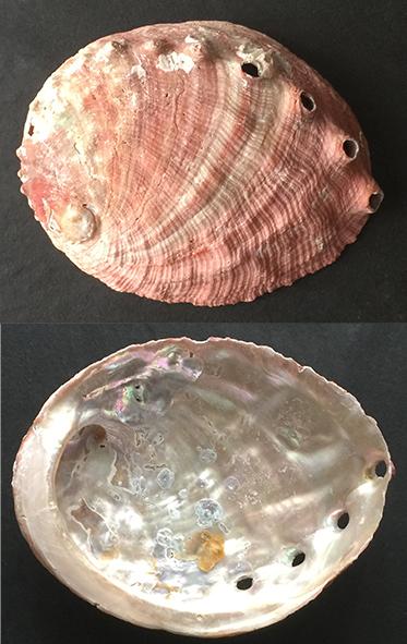 Haliotis rufescens Sans_t90