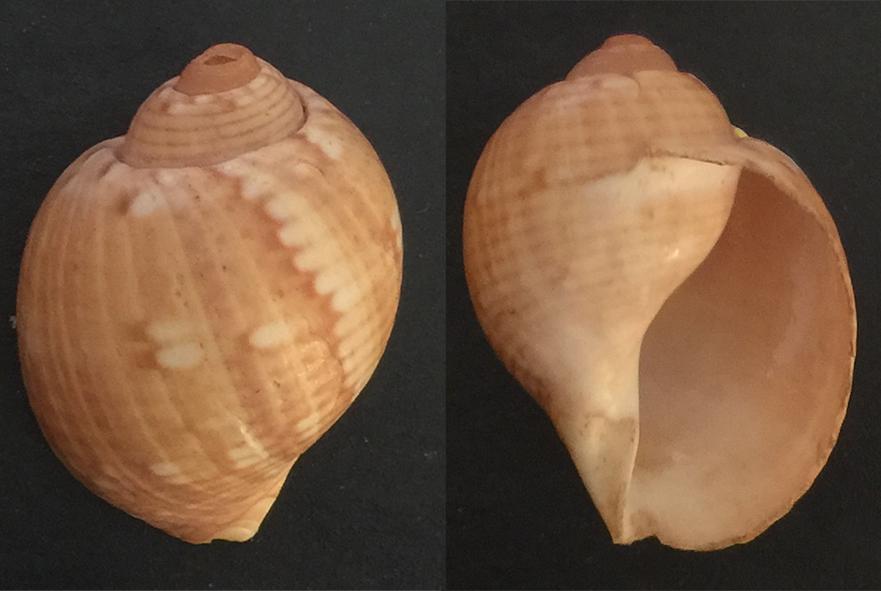 Tonna canaliculata Semica12