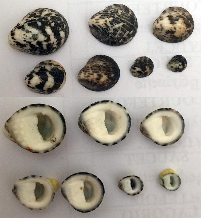 Nerita albicilla Tessel10