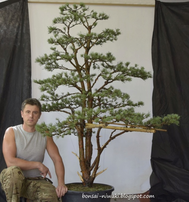 Pinus sylvetris styling 70183012