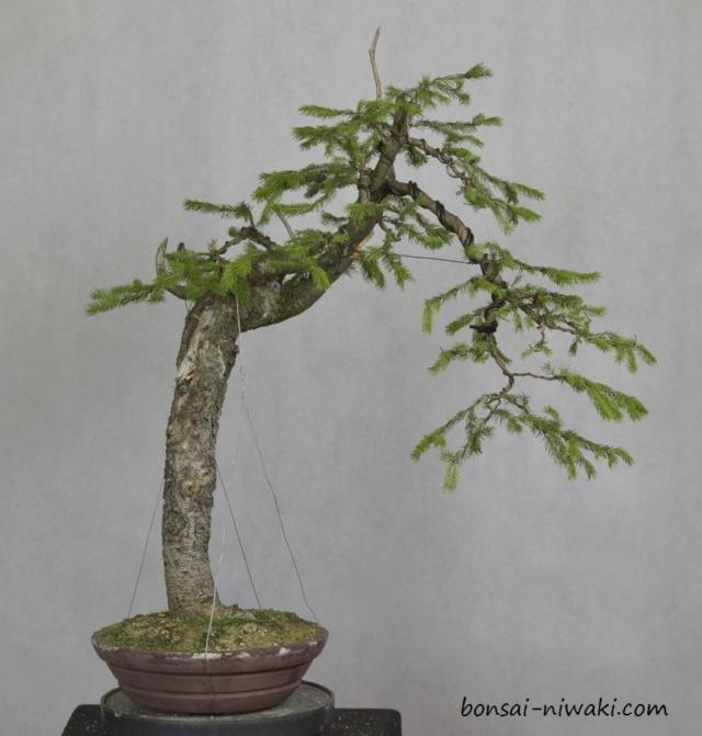 Picea abies_spruce_3 _dsc0110