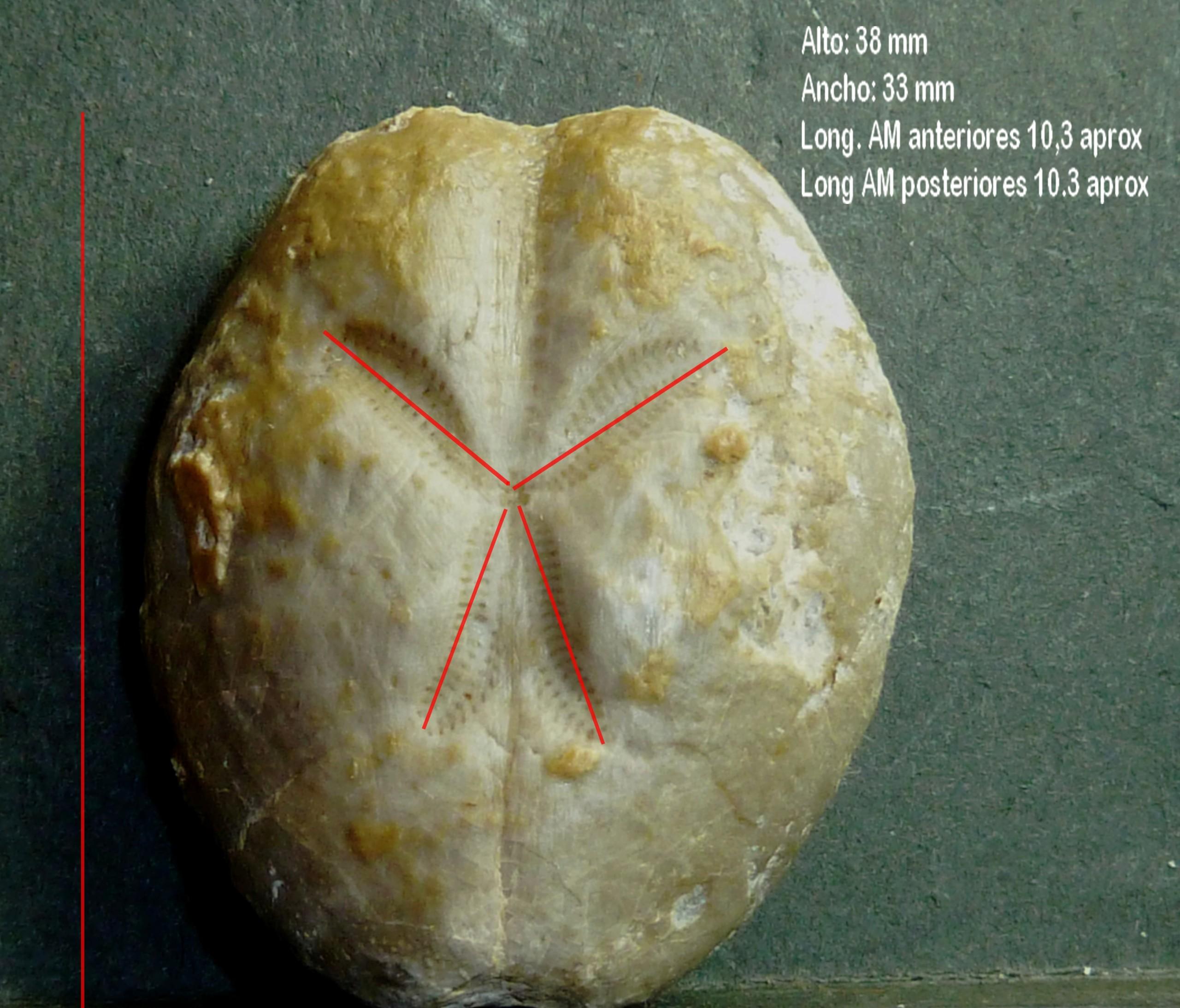 Brissopsis P1290912