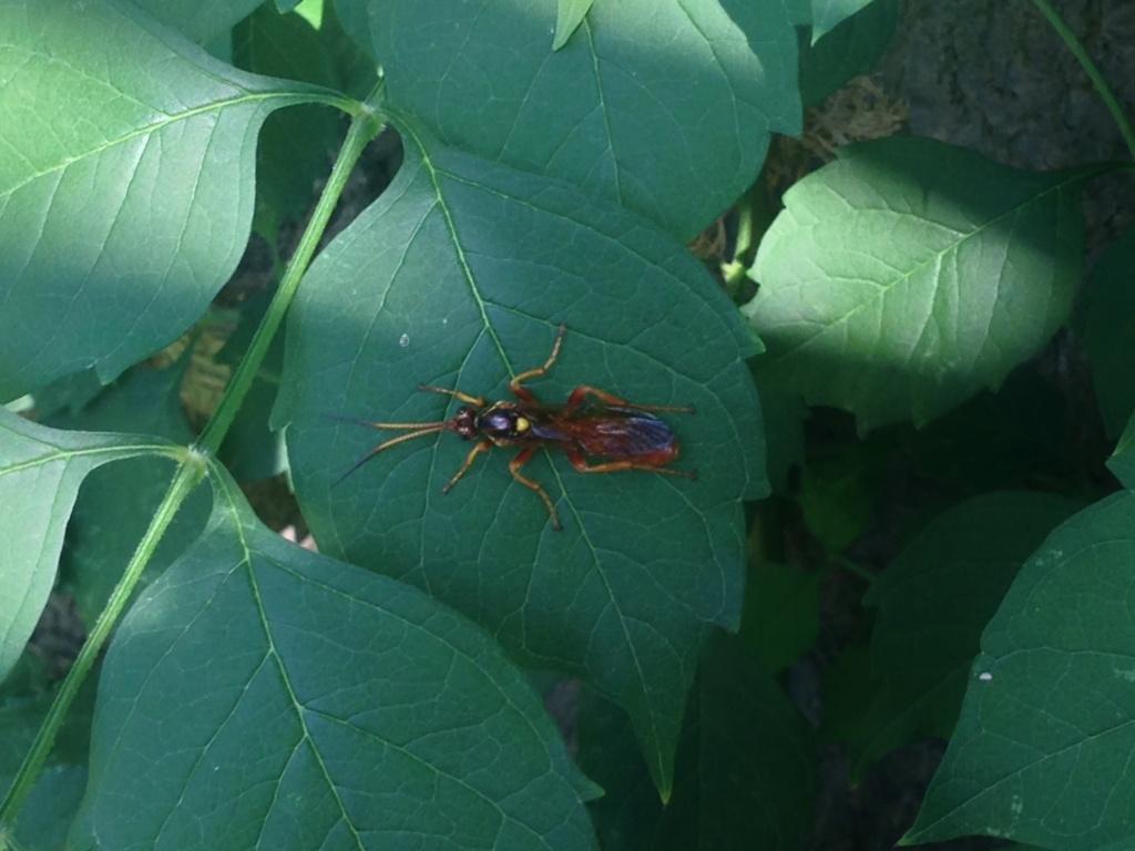[Ichneumonidae] Mais qu'est-ce que c'est ? Img_4711