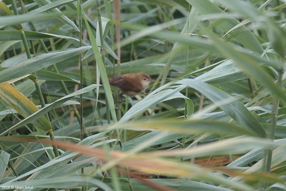 Passeriformes - Campos do Lis - Leiria 2_4j6a12