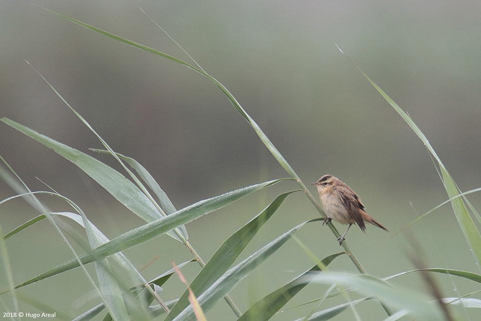 Passeriformes - Campos do Lis - Leiria 3_4j6a10