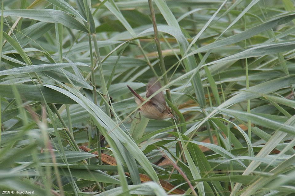 Passeriformes - Campos do Lis - Leiria 4_4j6a10