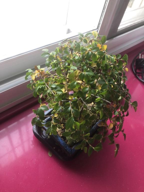 Ayuda urgente con zelkova parvifolia Image10
