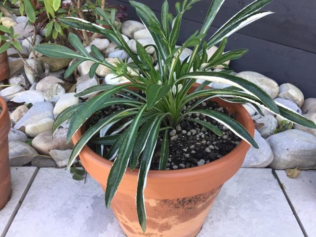 Gazania : Nouvelle plante à identifier  6c237110