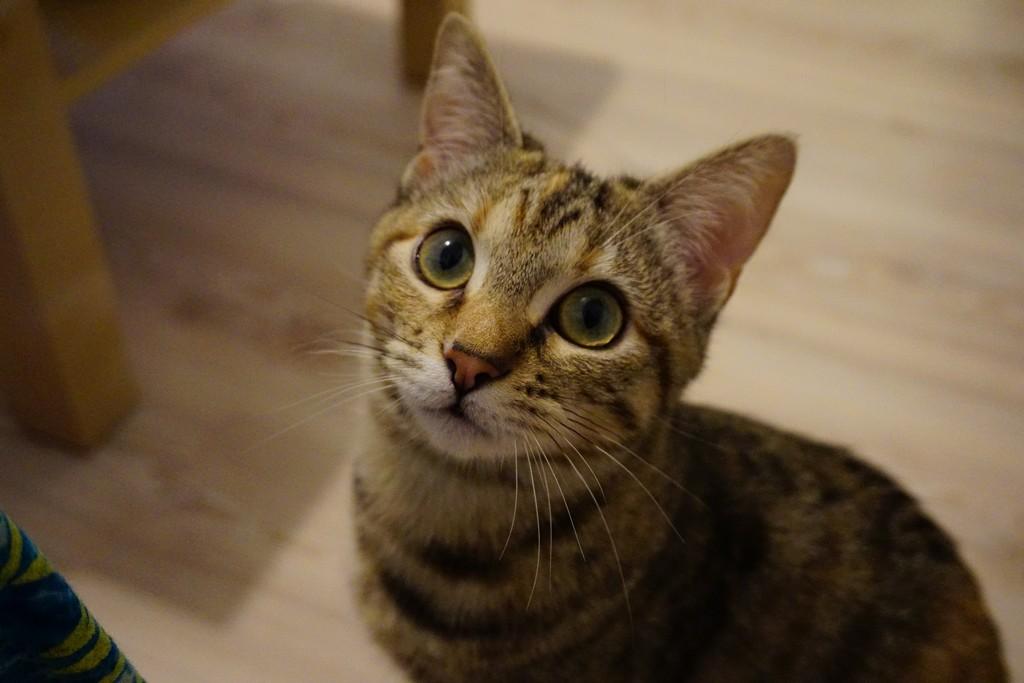 ORIA, chatonne européenne marron tabby, née le 20/05/18 Dsc05914