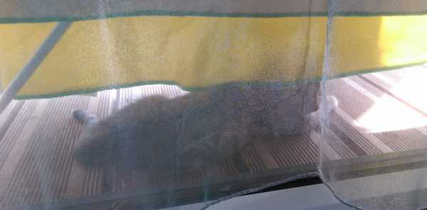 ORIA, chatonne européenne marron tabby, née le 20/05/18 Dsc_0515