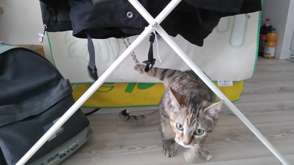 ORIA, chatonne européenne marron tabby, née le 20/05/18 Dsc_0813