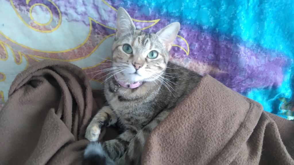 ORIA, chatonne européenne marron tabby, née le 20/05/18 Dsc_1114