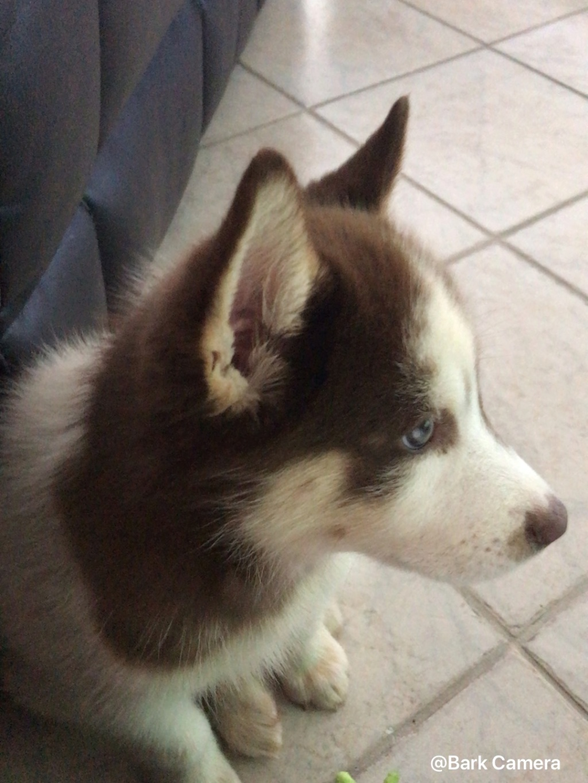 Is my husky a mix? 4bb6b710