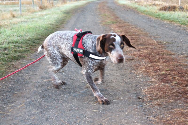 LOOMIS (chienne braque croisée) Img_3811