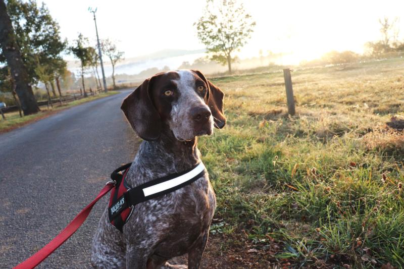 LOOMIS (chienne braque croisée) Img_3812