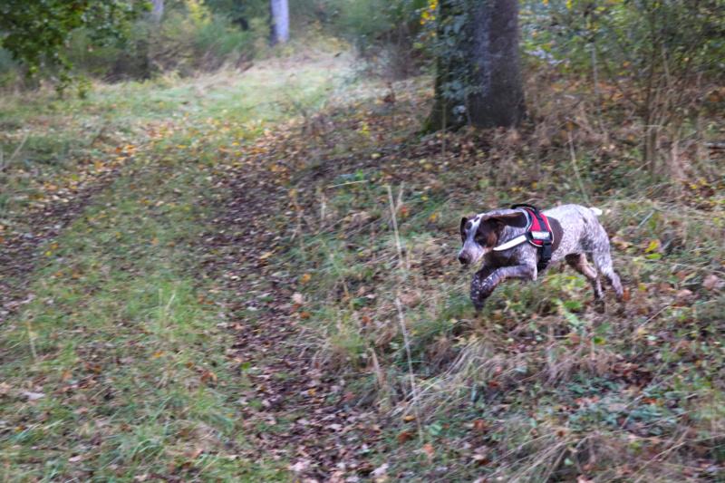 LOOMIS (chienne braque croisée) Img_3814