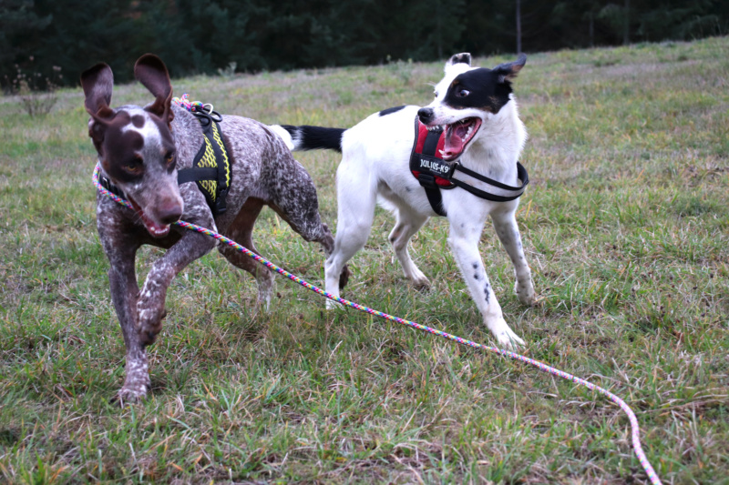 LOOMIS (chienne braque croisée) Img_4310