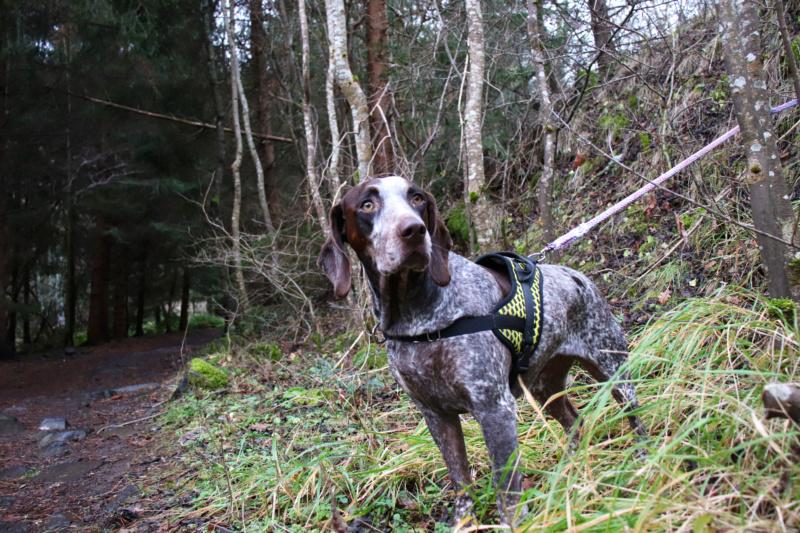 LOOMIS (chienne braque croisée) Img_4312