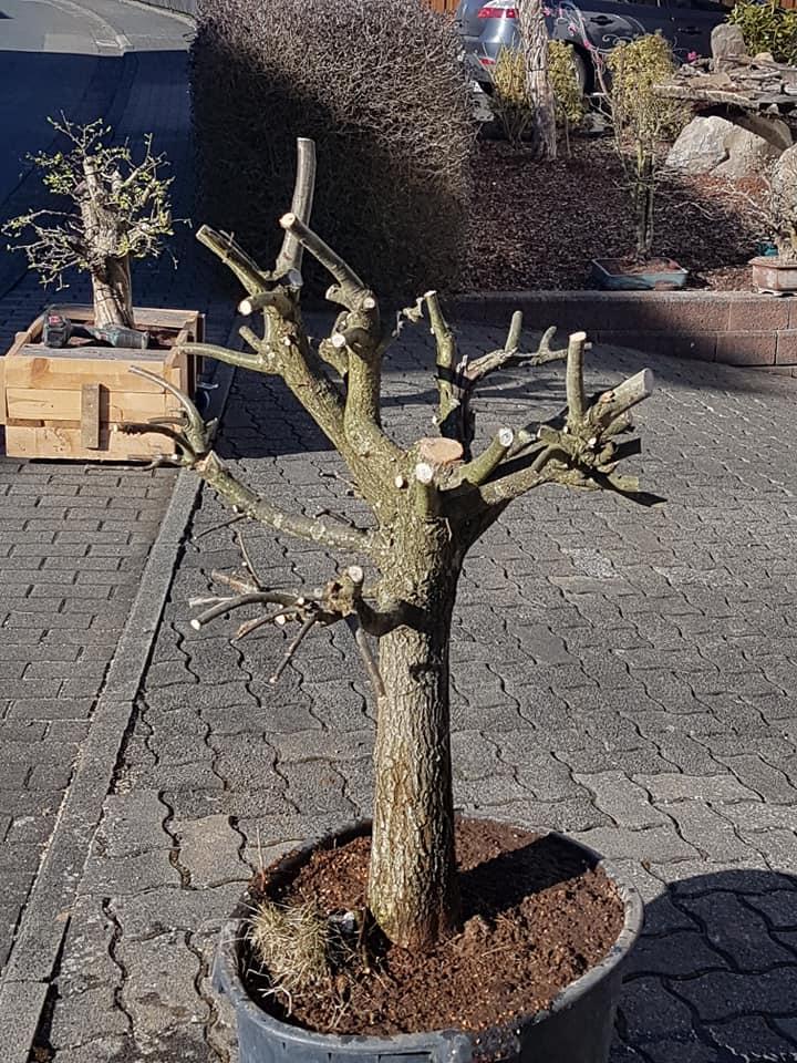 new oak yamadori...  311